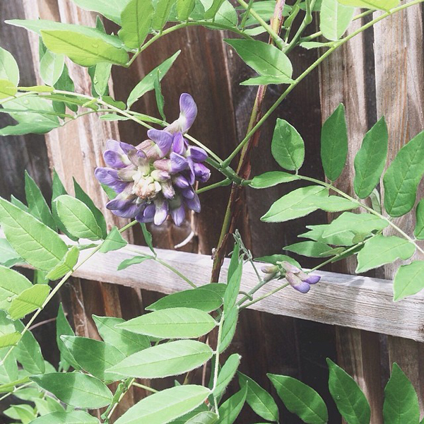 OSBP-At-Home-Garden-Update-Wisteria-Instagram